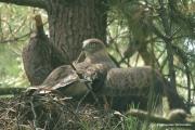 Short-toed Eagle (CIRCAETUS GALLICUS) / by GÉRARDIN F. 2007
