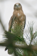 Short-toed Eagle (CIRCAETUS GALLICUS) / by GÉRARDIN F. 2008