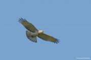 Short-toed Eagle (CIRCAETUS GALLICUS) / by GÉRARDIN F. 2008