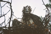 Short-toed Eagle (CIRCAETUS GALLICUS) / by IVANOVSKI V.