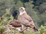 14.07 : the male. The old feathers are sharpened