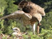 18.07 : the female brings a Least weasel (Mustela nivalis)