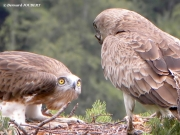 14.07 : what a disappointment ! the male brings an unedible stick…