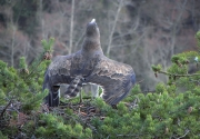 The 'albatross-posture' is used in case of aggression, when an intruder is close to the nest