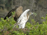 INDICATE THE NEST. The male marks its eyrie: he carries a twig in his beak