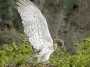 INDICATE THE NEST. Angel attitude : the male shows the underside of his wings, for the benefit of any neighbouring Short-toed eagles