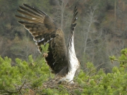INDICATE THE NEST. The genuflexion: a way to indicate there's a nest, more discrete than the «angel attitude» (by the male)