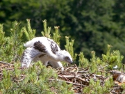 13.06 : the eaglet is 19 / 22 days old; it cannot fly but walks on all fours very well