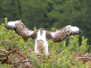 17.06 : the eaglet is not ready to take off .. but he already tries !