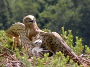 17.06 : there, under mother's wing, is the best and the most peaceful place for the chick now