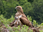 25.06 : the eaglet is 32 / 35 days old; it still needs to be protected from heat by the mother