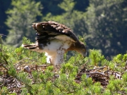 03.07 : the juvenile is 39 / 42 days old now; while the eaglet is flapping wings bits of fluff in the air look like it's snowing