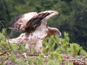 08.07 : this juvenile Short-toed Eagle is very dynamic; the wind inspires, it seems, but the biggest flight feathers are half-grown yet
