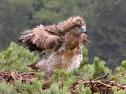 15.07 : under rain... the young Short-toed Eagle seems to be enjoying water