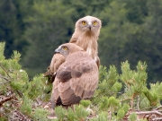 22.07 : the juvenile (59 days old) Short-toed Eagle in the foreground, with its mother