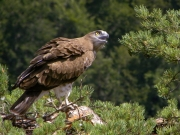 24.07 : the juvenile (61 days old) - just few days to wait; looking at buzzards, crows and its parents
