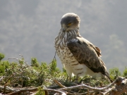 13.03 : the Short-toed Eagle male restores the nest of 2012