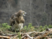 27.03 : the Short-toed Eagle female calls her partner