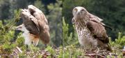 Juvenile & male