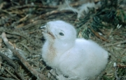 Short-toed Eagle chick. Age 1-2 days