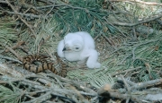 Short-toed Eagle chick. Age 2 days