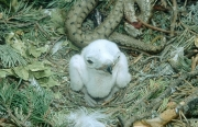 Short-toed Eagle chick. Age 48 hours