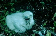 Short-toed Eagle chick. Age 10 days