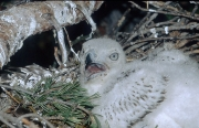 Short-toed Eagle chick. Age 2 weeks