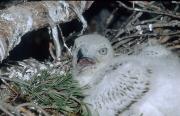 Short-toed Eagle chick. Age 2 weeks