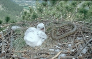 Short-toed Eagle chick. Age 15 days