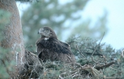Short-toed Eagle chick. Age 9 weeks