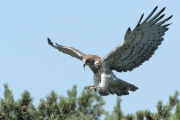 26.06.11 : a male Short-toed Eagle coming with a snake