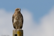 28.07.13 : this perching Short-toed Eagle is also probably an adult female