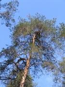 Short-toed Eagle nest / by PISMENNYI K. 2005
