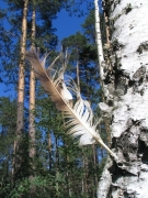 Short-toed Eagle's feather / by PISMENNYI K. 2005
