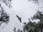 Short-toed Eagle (CIRCAETUS GALLICUS) / by PISMENNYI K. 2005