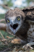 Short-toed Eagle (CIRCAETUS GALLICUS) / by PISMENNYI K. 2008