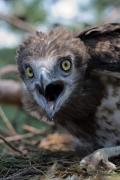 Short-toed Eagle (CIRCAETUS GALLICUS) / by PISMENNYI K. 2008