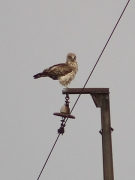 Adult Short-toed Eagle female in a dignified pose