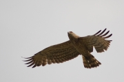 The Short-toed Eagle is flying right over the man
