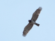 16.08 : male of other Short-toed Eagles pair has also noticeably less dark marks on his flanks than the female