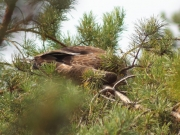 09.08 : young Short-toed Eagle has left the nest, but it doesn't fly yet