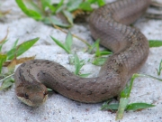 the Smooth Snake (Coronella austriaca) is too rare here to be caught often by Short-toed Eagles