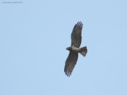 09.08 : this is a male of the same Short-toed Eagles pair circling right after feeding the young