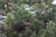 09.08 : and certainly its shy behaviour helps to stay invisible in crowns of pines
