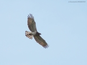 09.08 : flight not high above the ground – the Short-toed Eagle's feathers are spread as much as possible