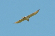 05.06 : male Short-toed Eagle is circling with Grass Snake in its beak over the Desna River floodplain