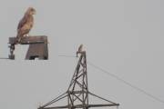 01.08 : female Short-toed Eagle hunting from power line pylons