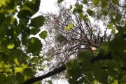 07.08 : new Short-toed Eagles' nest in the Northern-East of Ukraine