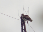 29.08 : he has an interesting habit to perch on the top wire of the power line, because special protections are set on their usual perches – tops of the pylons